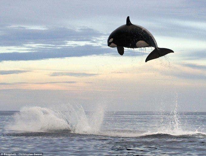 Picture © Biosphoto/Christopher Swann, courtesy of the Daily Mail
