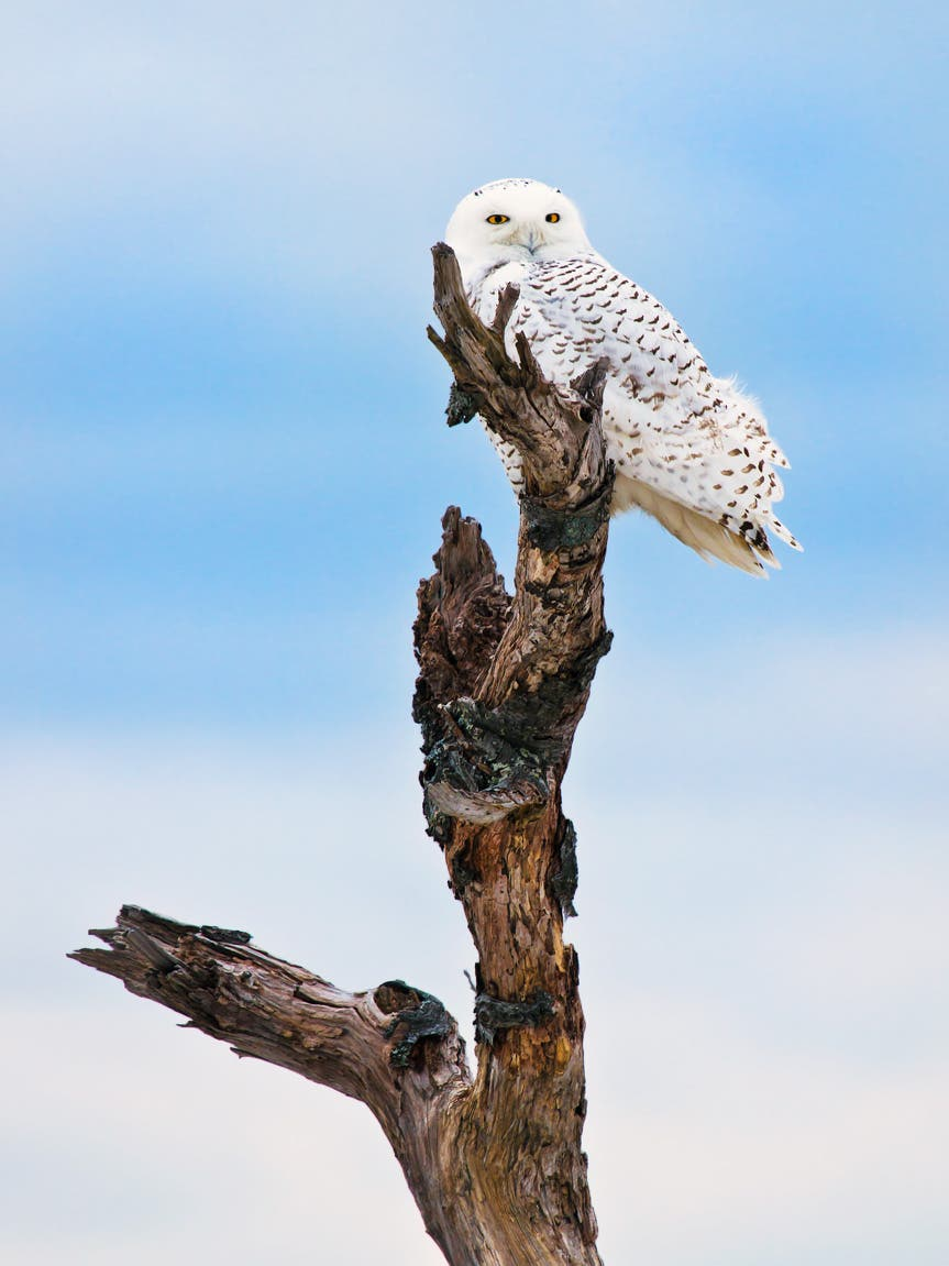 IMG_1322-Snowy-Owl-on-tree-2-8-13-editlarger-file