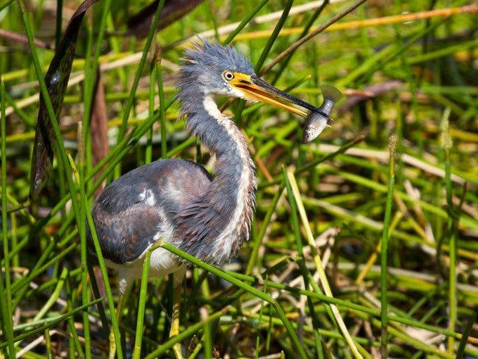 IMG_2886-Tricolored-Heron-with-fish-11-24-13larger-file