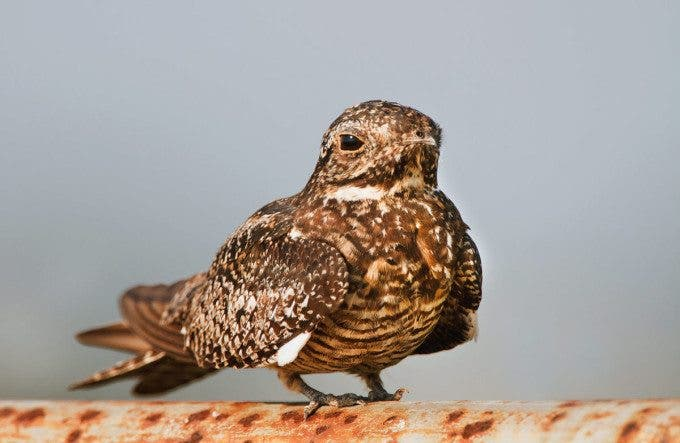 IMG_8583-Common-NIghthawk-on-rusty-pole-8-23-13larger-file