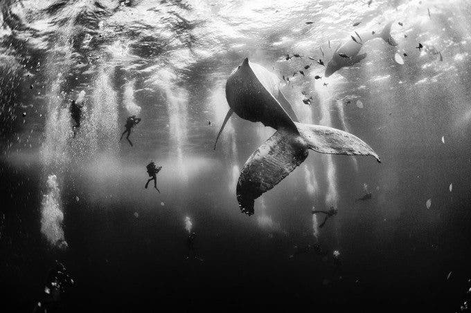 Diving with a humpback whale and her new born calf while they cruise around Roca Partida Island, in Revillagigedo, Mexico. This is an outstanding and unique place full of pelagic life so we need to accelerate the incorporation of this islands into UNESCO as a natural heritage site in order to increase the protection of the islands against the prevailing ilegal fishing corporations and big game fishing.