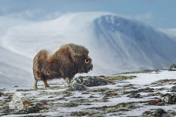 A highly unusual August snowfall brings winter like conditions to Dovrefjell National Park (near Oppdal, Norway), one of the rare places in the world where you can photograph the majestic musk ox in the wild. Despite its name, this powerful arctic mammal is related to goats and sheep. During the last Ice Age, 30,000 years ago, musk ox, wooly rhinoceros and mammoths lived together. When photographing this animal, safety mandates that your keep your distance: the stocky musk ox is known for its hot temper, its thick skull and its ability to charge at very high speed. Photo: K. Sahai - www.fullLife.no #norway #trondelag #wildlife #winter #nature #travel #oppdal #norge #visitnorway