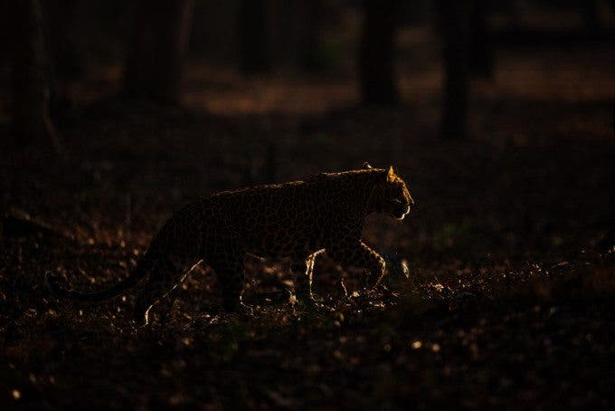 2 Leopard at dawn
