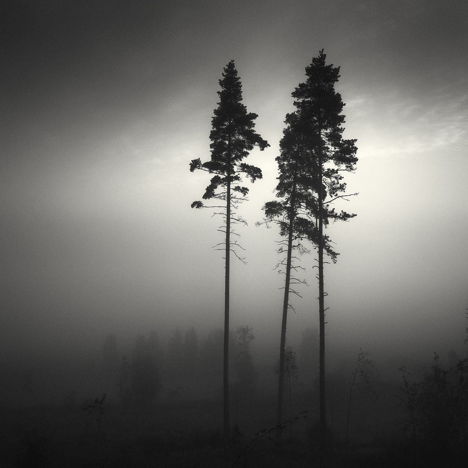 Pines in dense fog