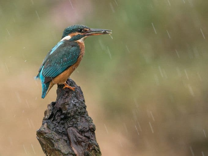 'Kingfisher in the rain' by Mike Hudson. 2nd in the crowd vote.