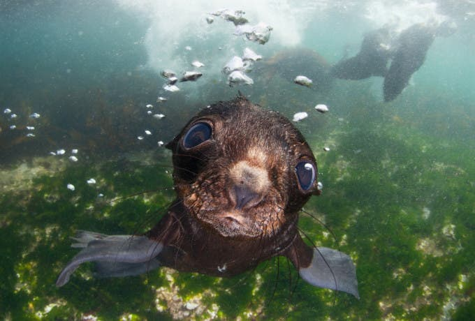 Bering sea. Commander islands. Baby fur seal ©Andrey Narchuk, Russia, Shortlist, Open, Nature and Wildlife, 2016 Sony World Photography Awards