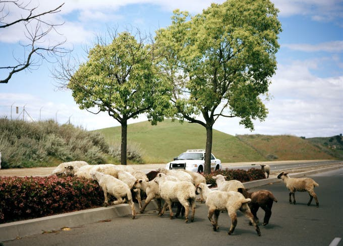 Sheep crossing Grand Ave. in Chino Hills, CA in Spring of 2012.
