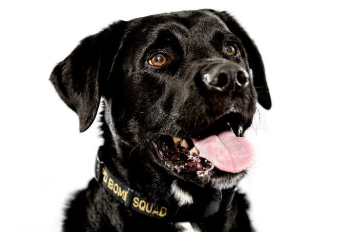 Police Dog Boomer has served three years on the Seattle Police Department's Arson/Bomb Squad. SPD was able to recruit Boomer from an animal shelter and send him to Boeing's rigorous 440 hour K-9 explosive detection training program. Photographed Monday, May 11, 2015, in Seattle, Washington. (Jordan Stead, seattlepi.com)
