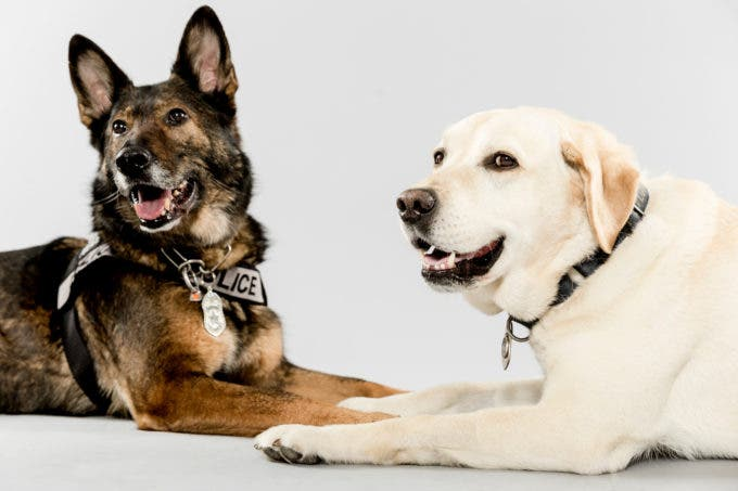 Buddies and K-9 coworkers Ziva, right, and Dennis, left, have long shared a bond, frequently making public appearances together. Photographed Monday, May 11, 2015, in Seattle, Washington. (Jordan Stead, seattlepi.com)