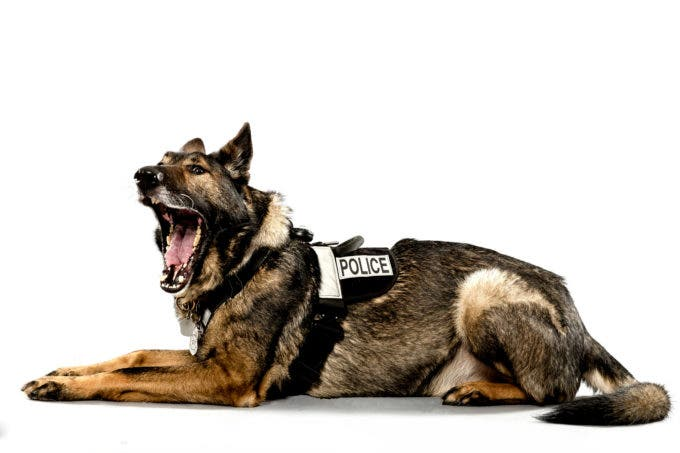 Tracking Police Dog Jaeger, age 7, has served with the Seattle Police Department for five years. A few months into his career, Jaeger located a burglary suspect and detained the perpetrator by sitting on him. Photographed Monday, May 11, 2015, in Seattle, Washington. (Jordan Stead, seattlepi.com)