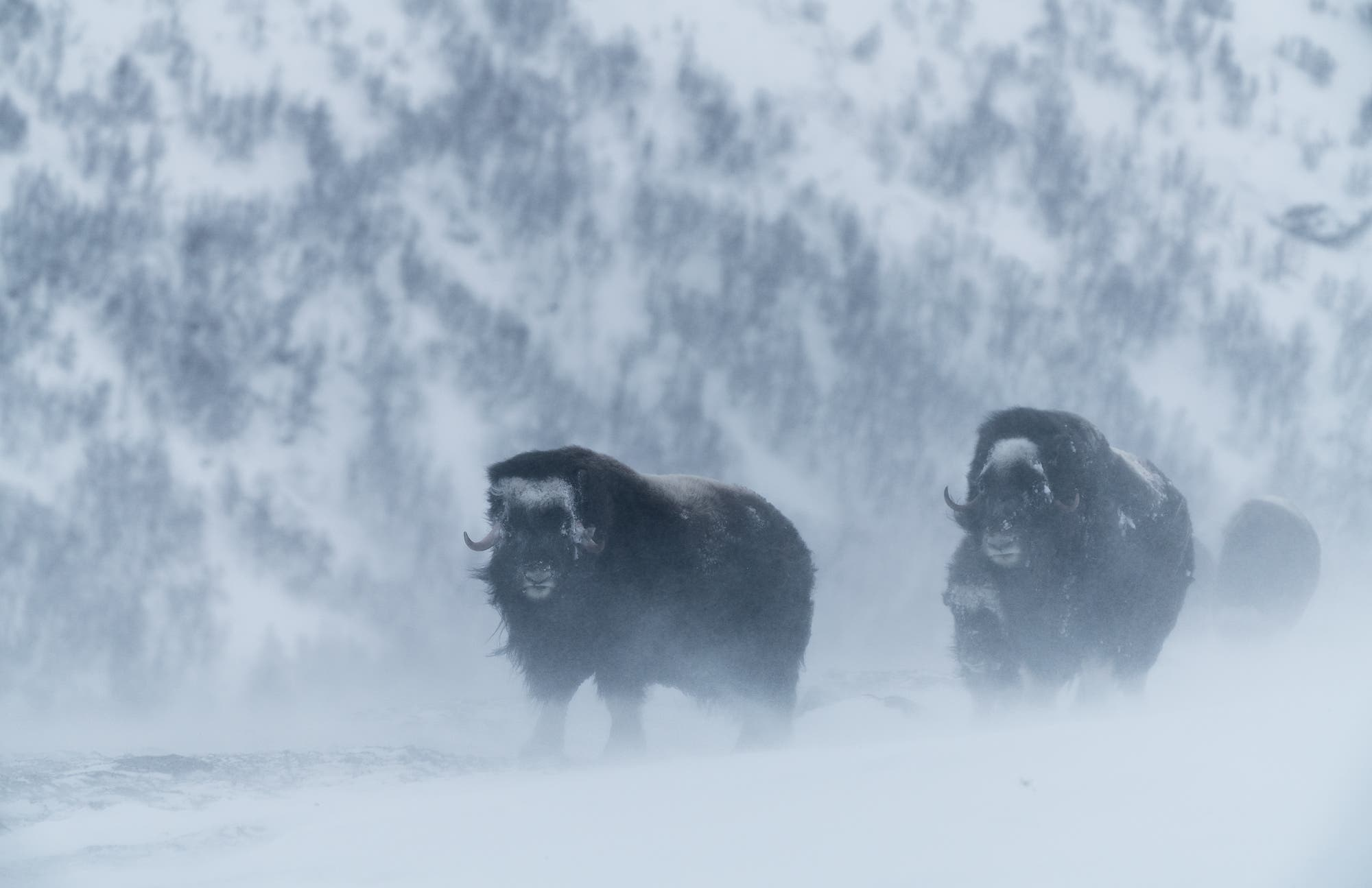 Chris Schmid's Photographs of Musk Ox in the Cold Are Hypnotic