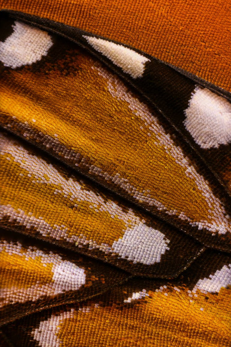 These Photos of Butterfly Wings Consist of 2,100 Merged Images Each