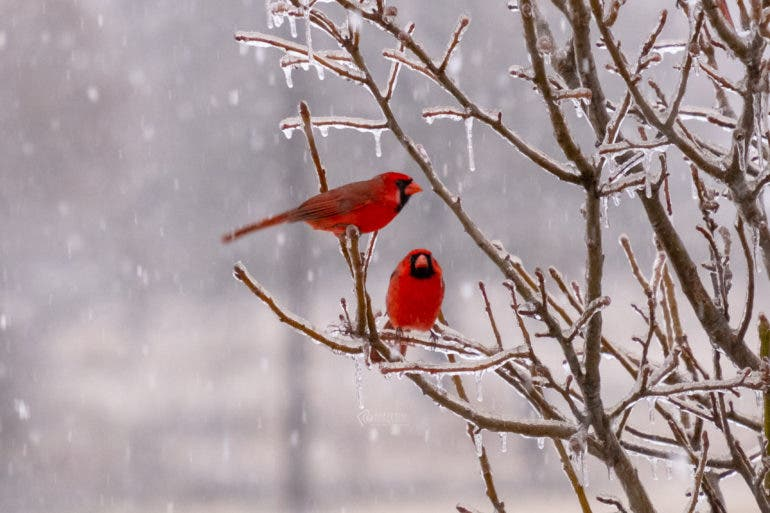 wildlife photography snowy Cardinals