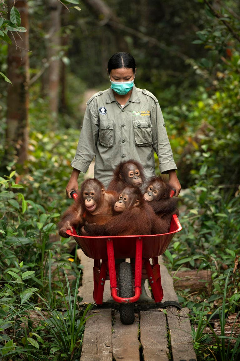 Mark Edward Harris' Beautiful Orangutan Portraits Highlight Deeper Issues